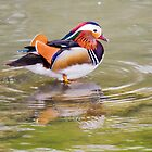Mandarin duck by SkinkArt