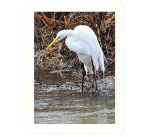 Eye of the Great Egret Art Print