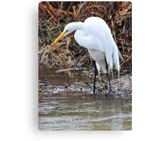 Eye of the Great Egret Canvas Print