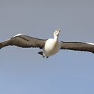 ON A WING & AND A PRAYER! Pelican in flight. by Rita Blom