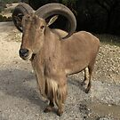 Auodad (Barbary Sheep) by Terence Russell