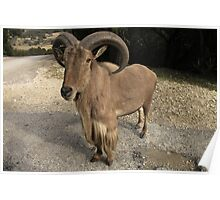 Auodad (Barbary Sheep) Poster