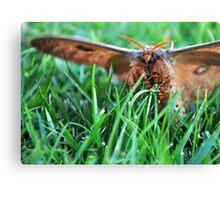 Moth in Stripey Socks Canvas Print
