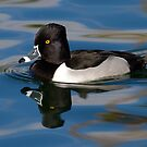 Ring-necked Duck by Marvin Collins