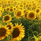 Flowers of Sun! by rasim1