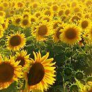 Flowers of Sun! by rasim1