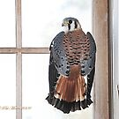 Kestrel - Falcon by Pat Moore