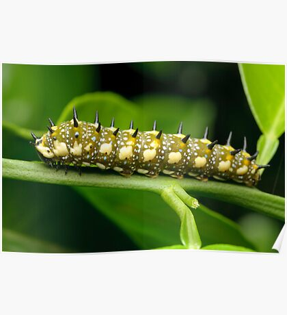 Dingy Swallowtail Caterpillar Poster