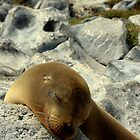 Snoozing Seal (Galapagos Islands) by BGpix