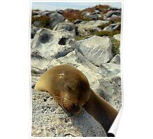 Snoozing Seal (Galapagos Islands) Poster