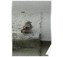 little baby bird. Poster