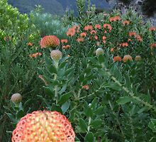 Kirstenbosch- South Africa by Linda Holcombe