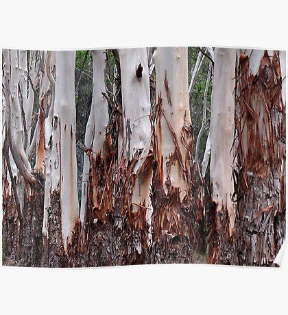 The Australian Gum Tree Poster