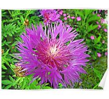 Centaurea (Perennial Cornflower) ' John Coutts ' Poster