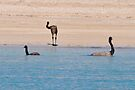 Emus Having a Dip by Ian Berry