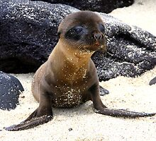 Seal Pup (Galapagos) by BGpix