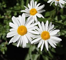 Pretty pure white daisy flowers. Floral nature photography.  by naturematters