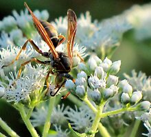 Male Northern Paper Wasp On Boneset Flowers by Jean Gregory  Evans