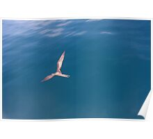 Gliding Over the Blue (Galapagos) Poster