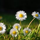Daisies by Paul Finnegan