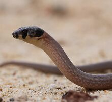 Legless Lizard by Steve Bullock