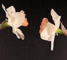 Narcissus, Daffodil by OlurProd