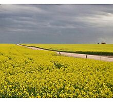 Canola fields, Eyre Peninsula, South Australia by Adam Watts