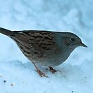 Test - Dunnock by Robert Abraham