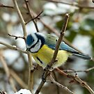 Test - Blue Tit by Robert Abraham