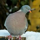 Test - Wood Pigeon by Robert Abraham