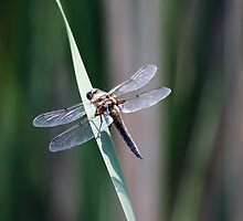 Brown Dragonfly on a Reed by nymphalid