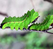 Two Tussore Silkmoth caterpillars by nymphalid