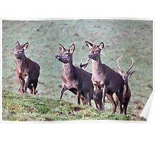 Three female Red deer Poster