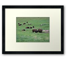 Buffalo Relaxing in Custer State Park Framed Print