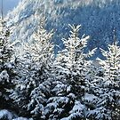 Frosty, Frozen Snow Covered Pines by maxy