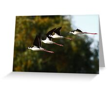 013010 Black Necked Stilts Greeting Card