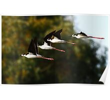 013010 Black Necked Stilts Poster