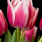 Tulip Vibrations by Leslie Nicole