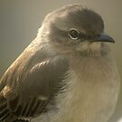 Young Gray Vireo by Ruth Lambert