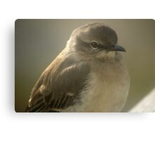 Young Gray Vireo Canvas Print