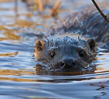Close encounters with a wild European Otter!!! by Jon Lees