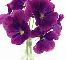 violet pansies by OldaSimek