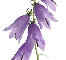 bellflowers by OldaSimek