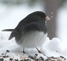Slate Colored Junco by Lolabud
