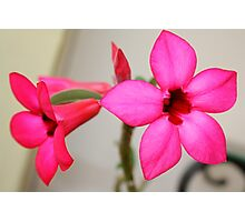 Twin Pink Tropical Floras  Photographic Print