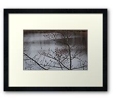 Mountain Ash berry's in spring Framed Print