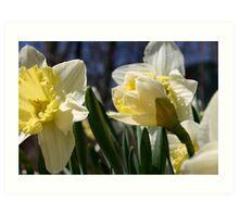 Morning Daffodils  Art Print