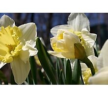 Morning Daffodils  Photographic Print