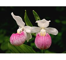 Showy Lady Slipper  Photographic Print