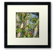 Cedar Wax Wing feeding on Cherries Framed Print